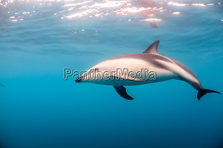 a dusky dolphin swimming off the