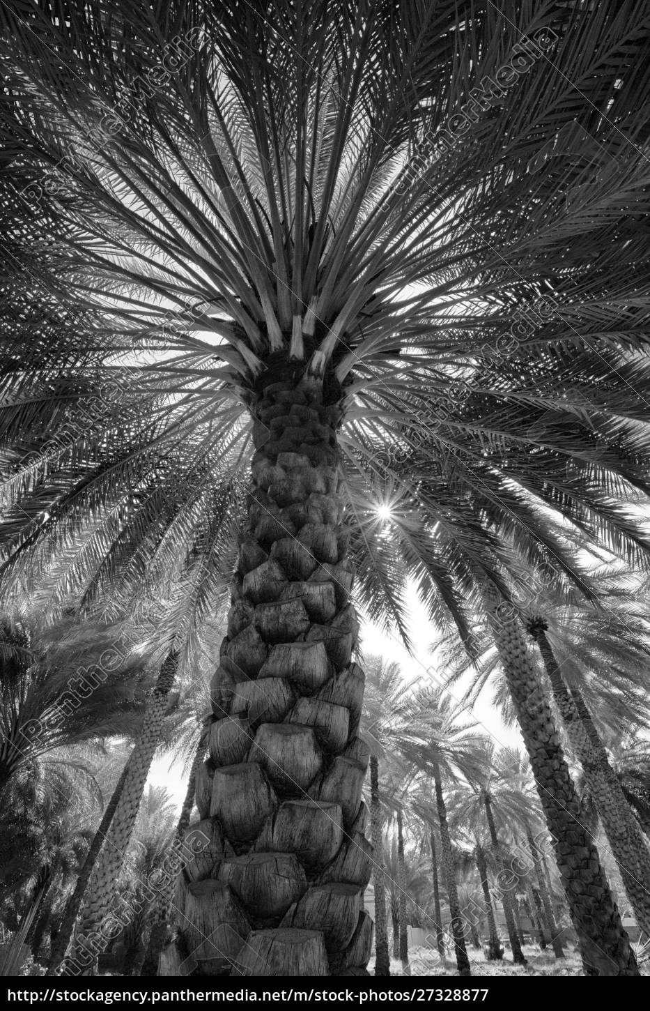 midday, sun, in, palm, trees., oman. - 27328877