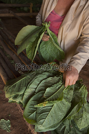 cuba vinales hands gathering tobacco leaves