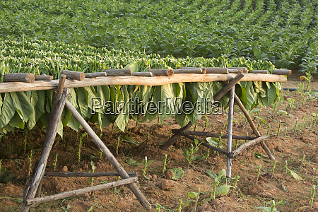 cuba vinales tobacco leaves drying on