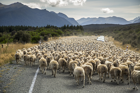 a herd of sheep block the