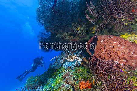 northern bahamas caribbean lionfish invasive species