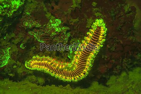 fire worm night fluorescing bonaire caribbean