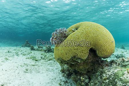 small brain coral near staniel cay