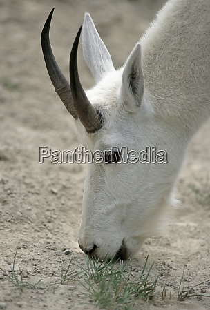mountain goat oreamnos americanus adult male