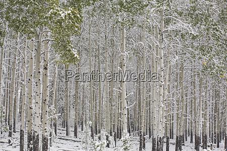 fresh late summer snow on aspen