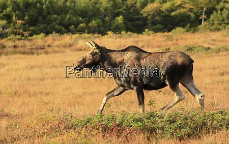 canada nova scotia cow moose in