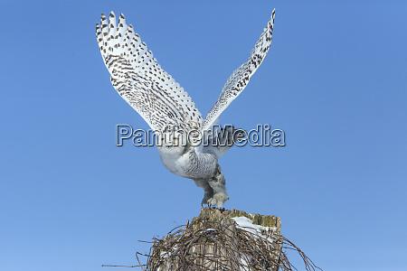 canada ontario female snowy owl takes