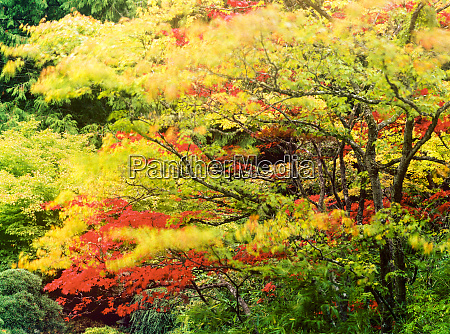 autumn color japanese maples bc canada
