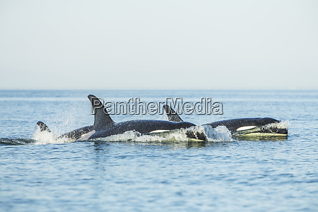 surfacing resident orca whales orcinus orca