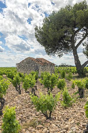 vineyard chateauneuf du pape france europe
