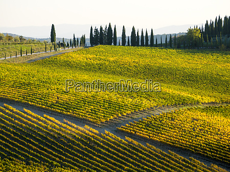 autumn vineyards in the chianti region