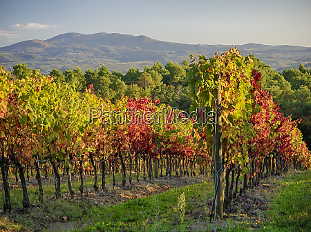 autumn vineyards in southern tuscany
