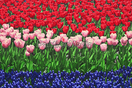 the netherlands lisse close up of