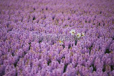 hyacinth flower fields in famous lisse
