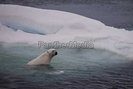 norway svalbard spitsbergen polar bear swims