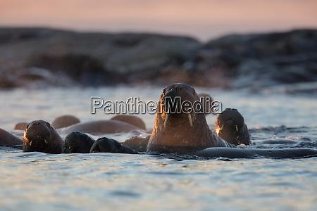 norway svalbard kvitoya walruses swimming at