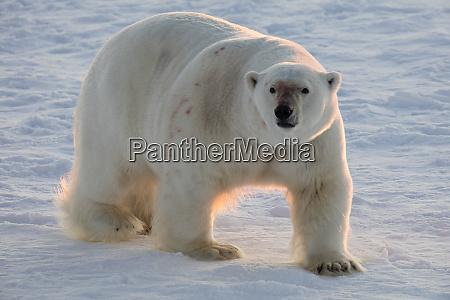 norway svalbard spitsbergen polar bear walks