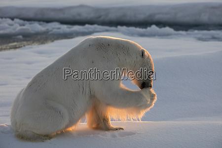 norway svalbard spitsbergen polar bear cleans
