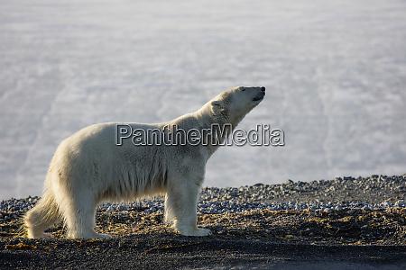 norway svalbard storoya very lean polar