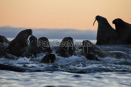 norway svalbard kvitoya walrus swim by