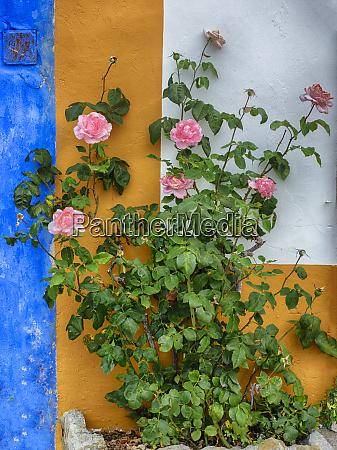 roses growing