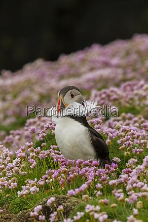 europe scotland shetland islands atlantic puffin