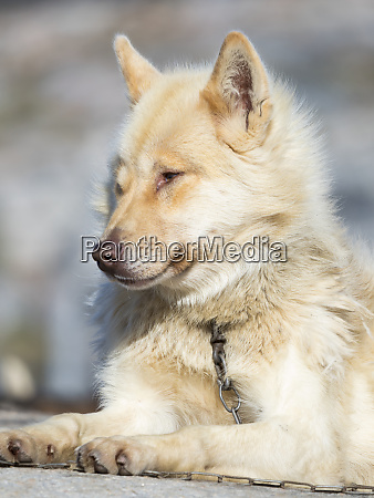 sled dogs inuit village oqaatsut once