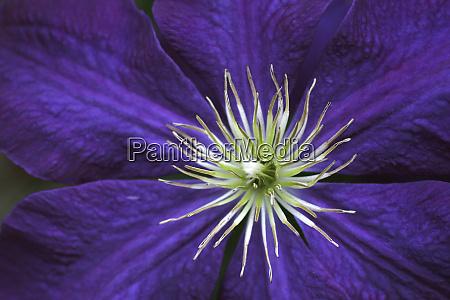 clematis flower detail