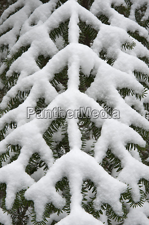 symmetry of a snow covered pine