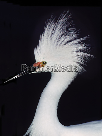 snowy egret in breeding plumage at