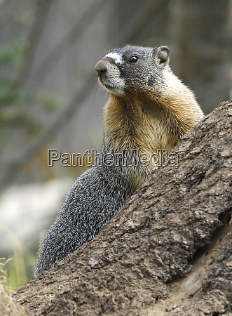 marmot leaning against a rock