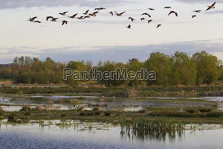 canada geese wetland habitat