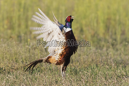 ring necked pheasant courtship display and