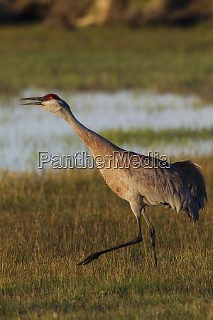sandhill crane calling