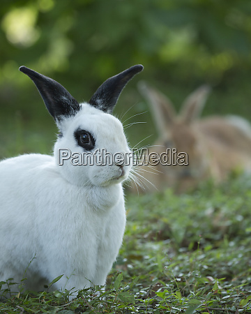 black and white rex rabbit with