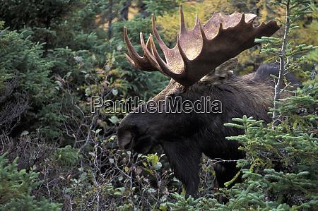 na canada bull moose alces alces