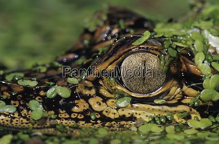 american alligator alligator mississipiensis young in
