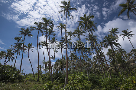 grove of palm trees with clouds