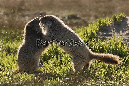 olympic marmot youngsters playing