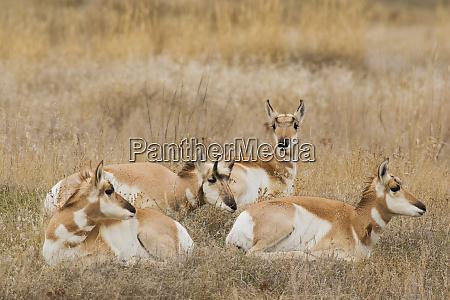 pronghorn antelope horn shedding sequence 4