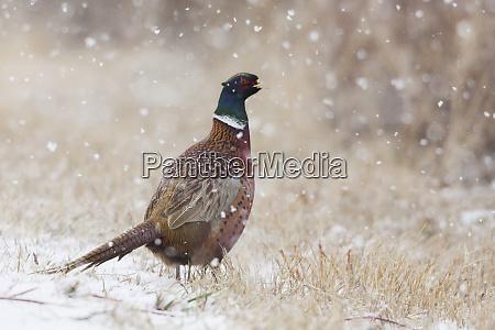 ring necked pheasant autumn snowflakes