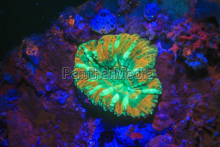 large flower coral day fluorescing palau