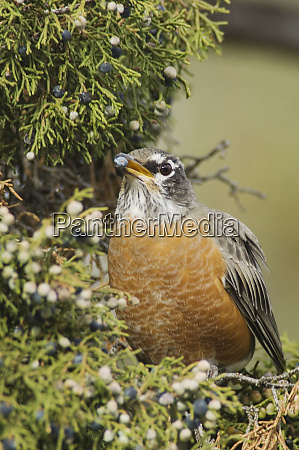 american robin turdus migratorius female eating