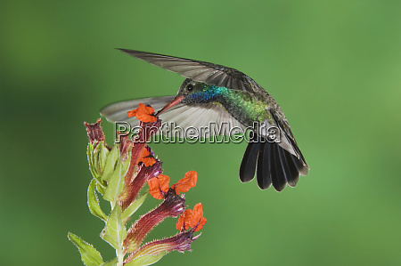 broad billed hummingbird cynanthus latirostris male