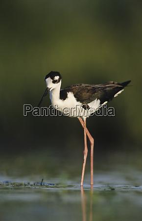 black necked stilt himantopus mexicanus adult