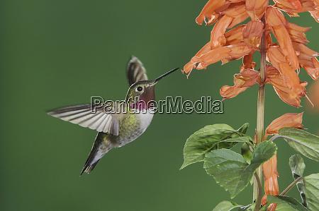 broad tailed hummingbird selasphorus platycercus male