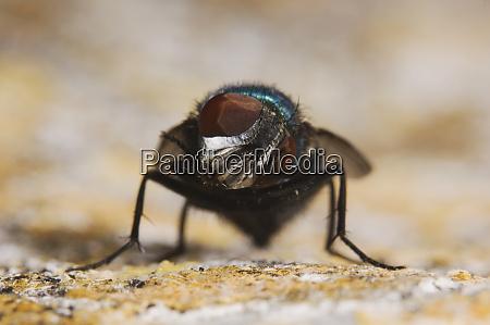 green bottle fly phaenicia sericata adult