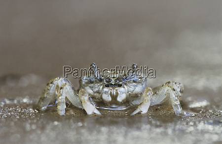 ghost crab ocypode sp adult rio