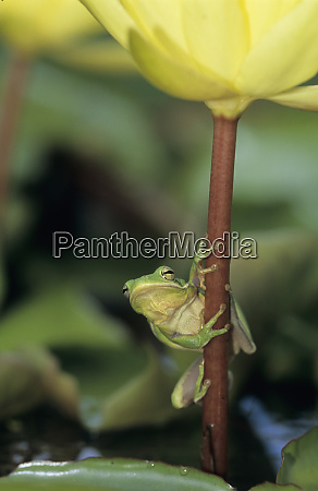 green treefrog hyla cinerea adult on